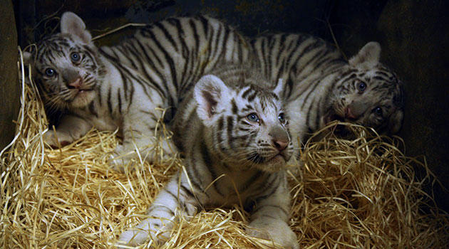 Three white tiger cubs were born at Zoo Liberec in the Czech Republic.