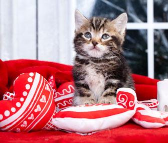Kitten with heart pillows