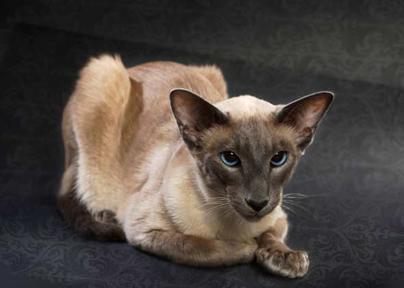10 Cat Breeds With Big Ears \u2014 Photo Gallery