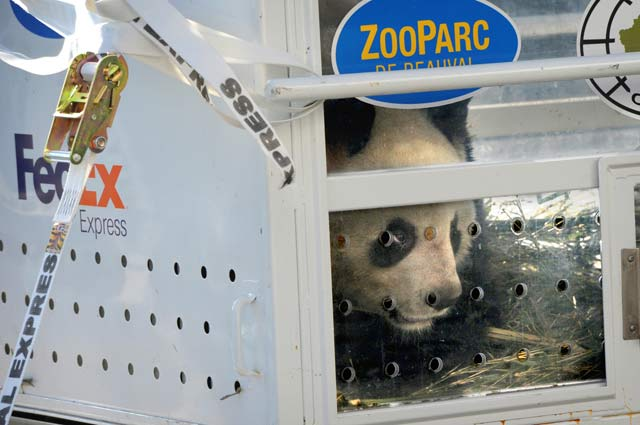 Huan Huan the Giant Panda in Crate