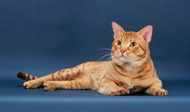 Ocicat Cat Breed Infor...