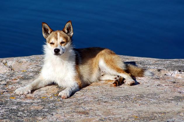 Norwegian Lundehund Dog Breed