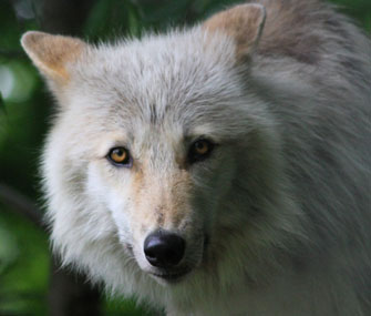 close up of gray wolf
