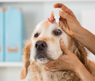 Dog getting eyedrops