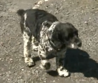 Oz, a Cocker Spaniel, is credited with saving his owner from a house fire.