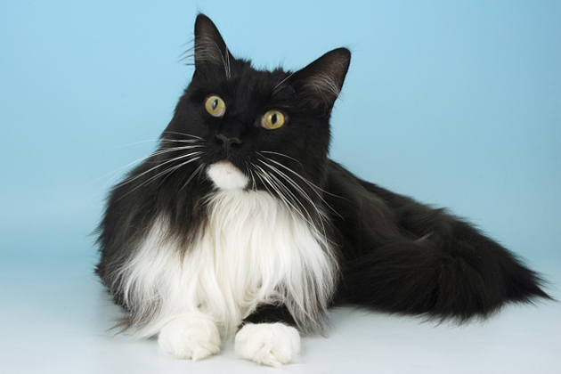 American Bobtail Cat Black