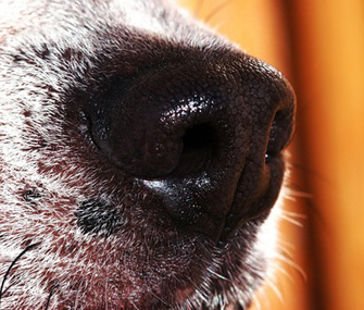 Dog nose close-up