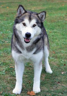 Alaskan Malamute Breed Information