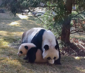 Little Bao Bao stuck close to her mom as she ventured outdoors for the first time on Tuesday.
