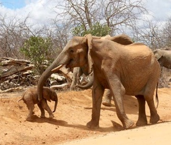 Wendi, who was saved as an orphaned baby, brought her own newborn to meet her rescuers in Kenya.