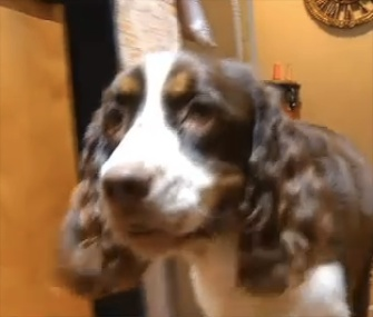 Bonnie, a deaf English Springer Spaniel, is being credited with alerting her owner to the presence of an intruder.