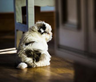 Maltese Puppy Inside