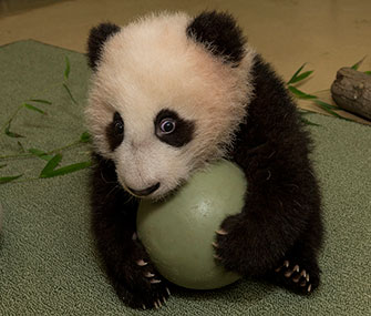 Panda cub Xiao Liwu holds a ball during his latest exam.