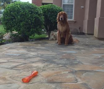 Golden Retriever Brody not fetching