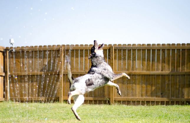Jack the Blue Heeler mix plays in the sprinkler