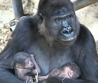 Gorilla mom N'Gayla gave birth to twins at the Burgers' Zoo in The Netherlands last week.