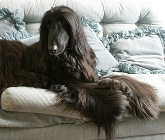 Afghan Hound lying on couch