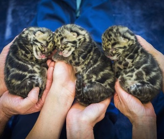 Three adorable clouded leopard cubs were born at the Point Defiance Zoo.