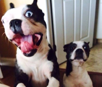 Bo and Zoey the Boston Terriers barking