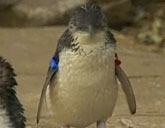 Dirk the penguin was returned to Sea World in Australia.