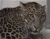 Jaguar at Columbus Zoo