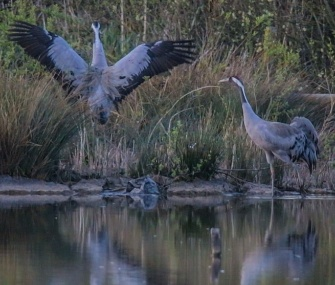 An egg belonging to a pair of common cranes is being guard around the clock in the U.K.