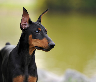 Close up of Doberman Pinscher outdoors