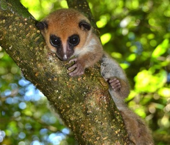 A new species of dwarf lemur who was found in Madagascar is described in a new paper.