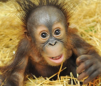 Six-month-old Bornean orangutan Kecil has a new surrogate mom at Chicago's Brookfield Zoo.