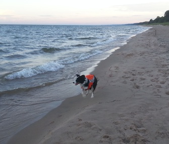 A Border Collie patrols a Lake Michigan beach as part of a study on reducing E. coli contamination.