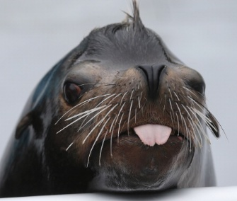 Sea lion Osborne survived Hurricane Sandy at the heavily damaged New York Aquarium.