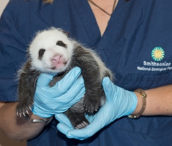 Fans of the National Zoo's Panda Cam won't get to see the famed baby girl if the government shuts down.