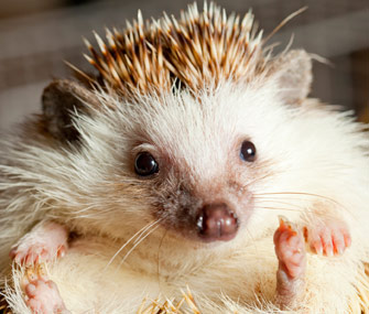 Hedgehog portrait