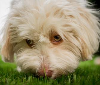 Dog sniffing ground