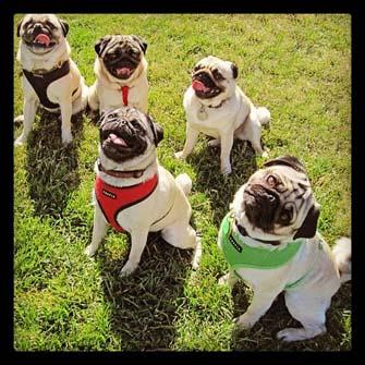 Pugs of Instagram