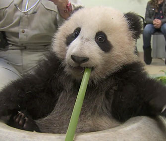 Xiao Liwu plays during his 19th exam at the San Diego Zoo.