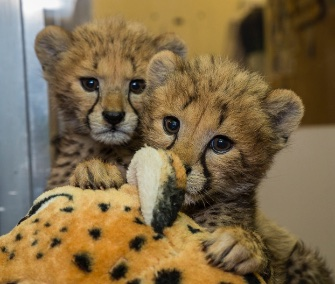 Twin cheetah cubs are being hand reared at the San Diego Zoo Safari Park.