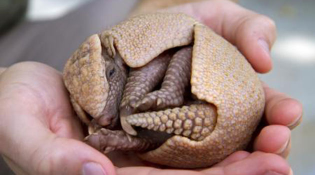 Baby armadillo at Busch Gardens Tampa