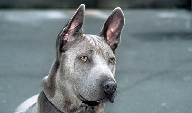 Thai Ridgeback Dog Breed Information