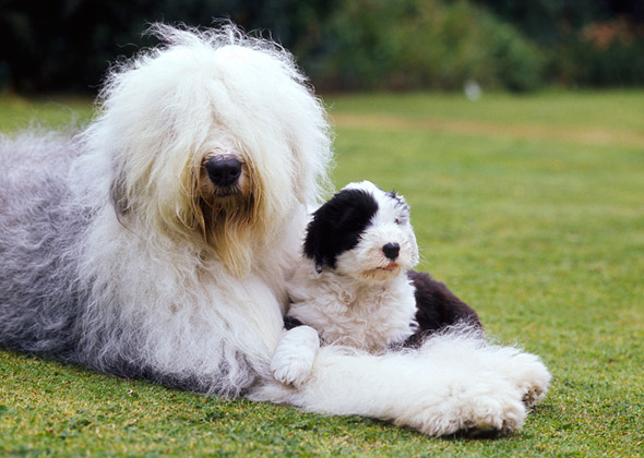 Dog Breeds That Look Different as Puppies and Adults — Photo