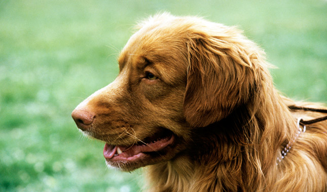 Dog Breed Info Nova Scotia Duck Tolling Retriever