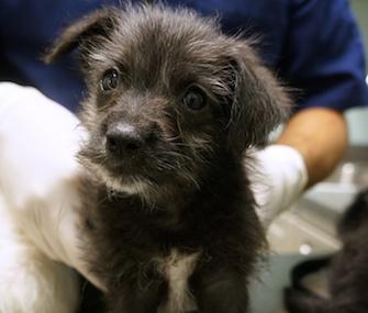 Xavier puppy