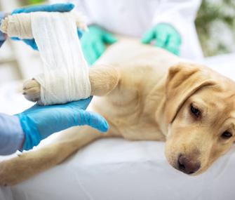 Dog getting bandage