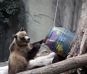 grizzly bear playing at the zoo
