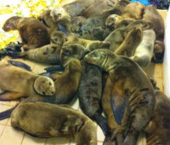 Dozens of sea lions are being cared for at the Pacific Marine Mammal Center in Orange County, Calif.