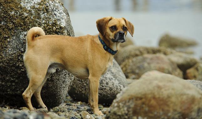 Puggle Dog Breed