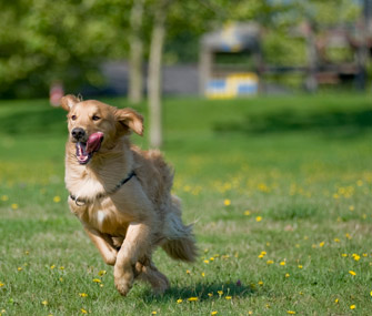 Hyper Golden Retriever running