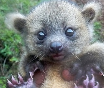 A team from the conservation group SavingSpecies found this baby olinguito in Colombia.