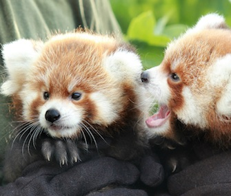 A pair of cute red panda siblings met the media at the Rosamond Gifford Zoo recently.