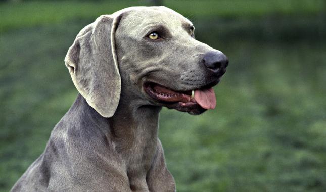 Hunting Dogs Breeds Weimaraner German Hunting Dog